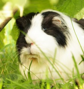 Read more about the article The guinea pig way
