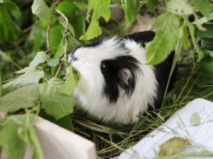 Piggies playing hide and seek
