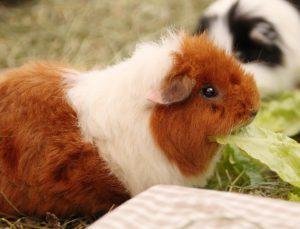Welches Schweinderl hättens den gerne?