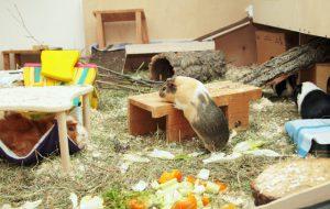 Das Eigenheim für Schweine